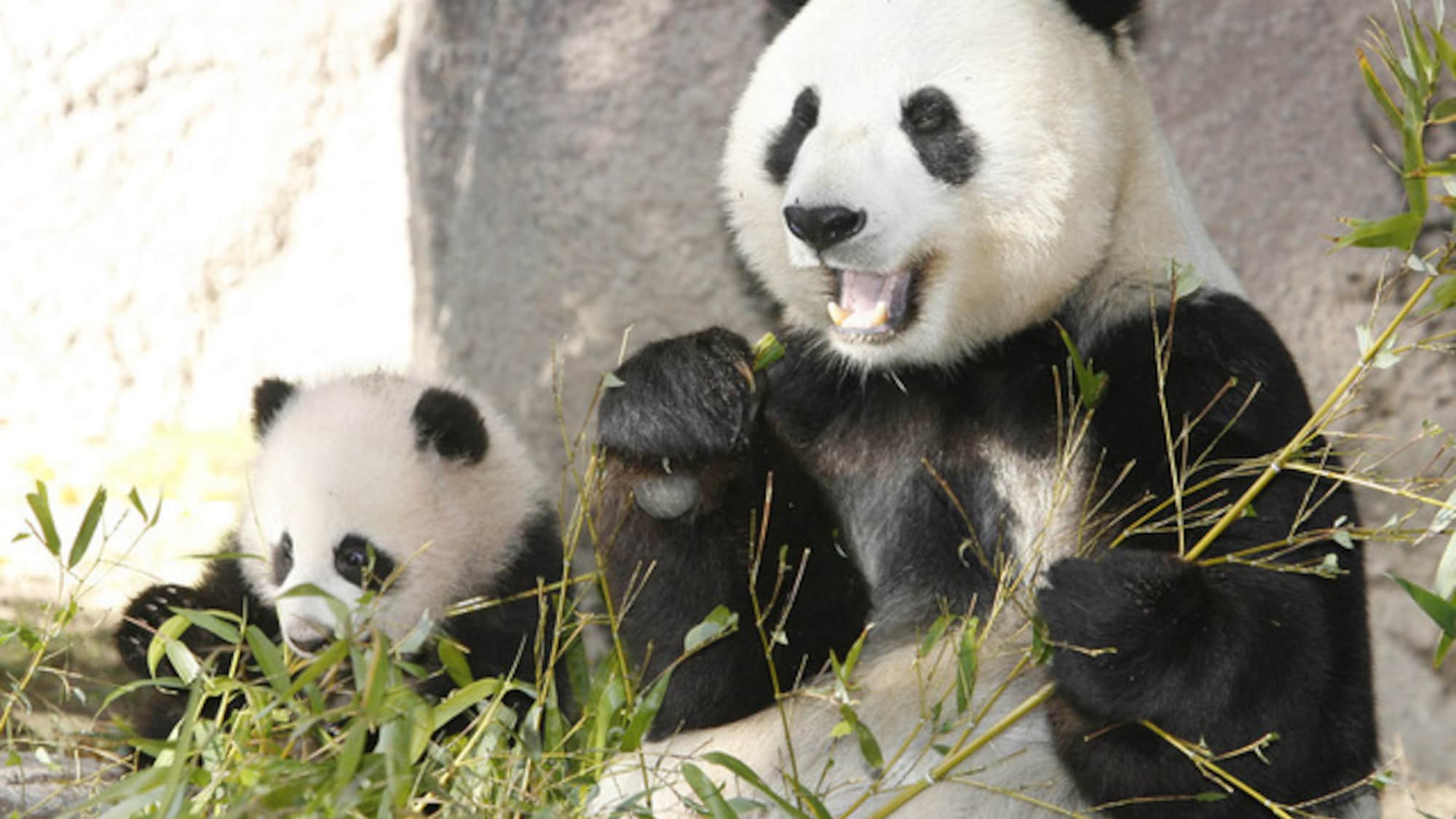 v5 panda bai yun mit einem ihrer jungen archiv