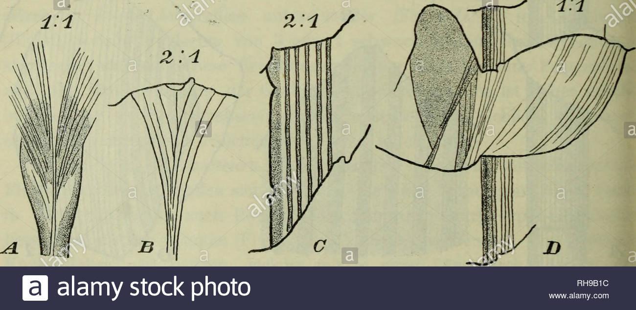 botanische jahrbucher fur systematik pflanzengeschichte und pflanzengeographie botany plantengeografie paleobotanie taxonomie pflanzen 410 beitrge zur flora von afrika xlii1 mit solchen transvaals identifiziert worden ber ihre horizontbedeutung habe ich bereits im allgemeinen teile gesprochen 3 noeggerathiopsis spec psygmophyllum mit spec cf schizo neura und glossopteris zusammen treten schlecht erhaltene blattresle auf vielleicht mit noeggerathiopsis zu identifizieren wren fig 3 d e stellung der letzteren ist noch nicht fixiert feistmantel stellt noegg RH9B1C