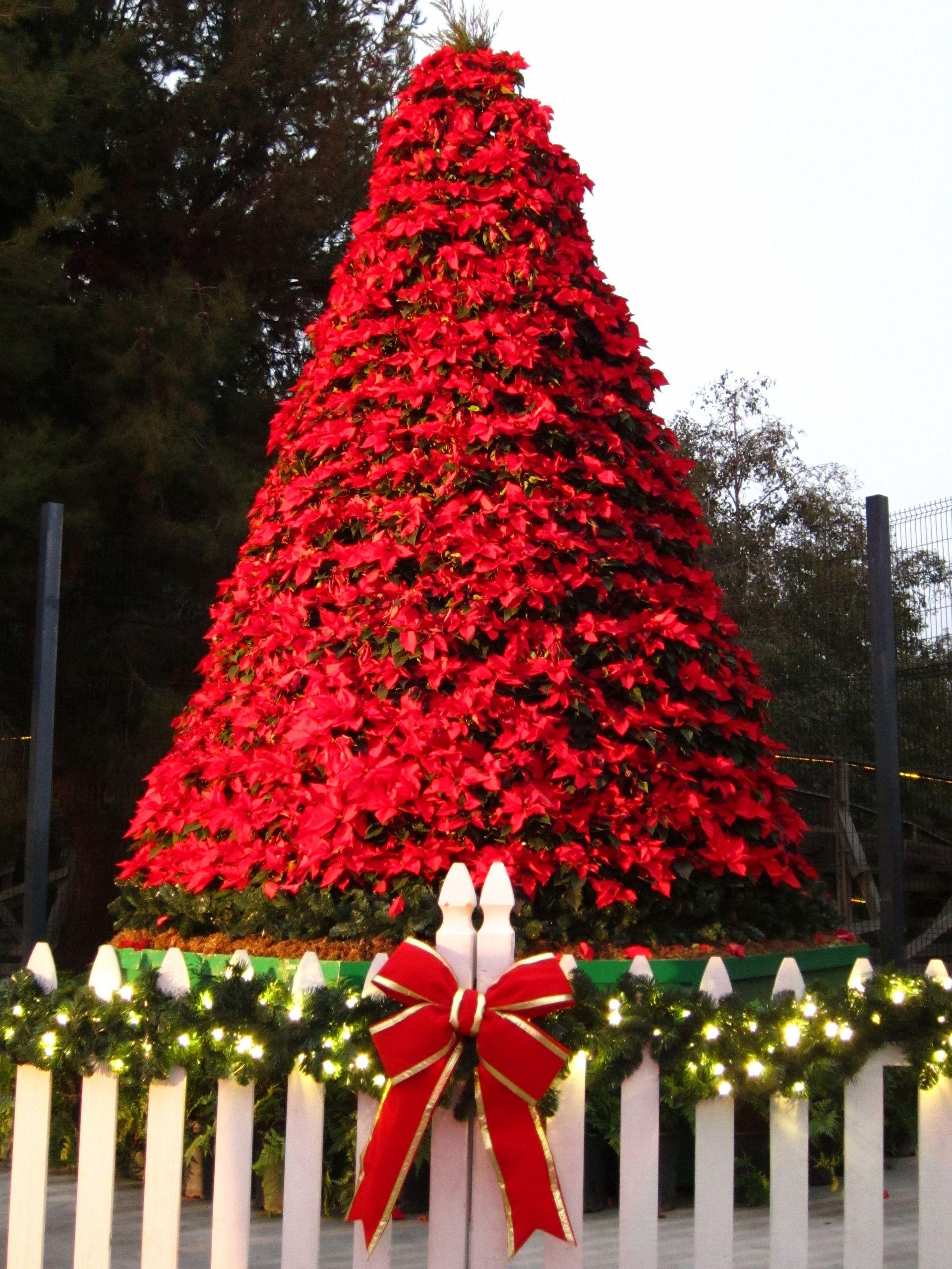 2736px Christmas Poinsettia Tree panoramio