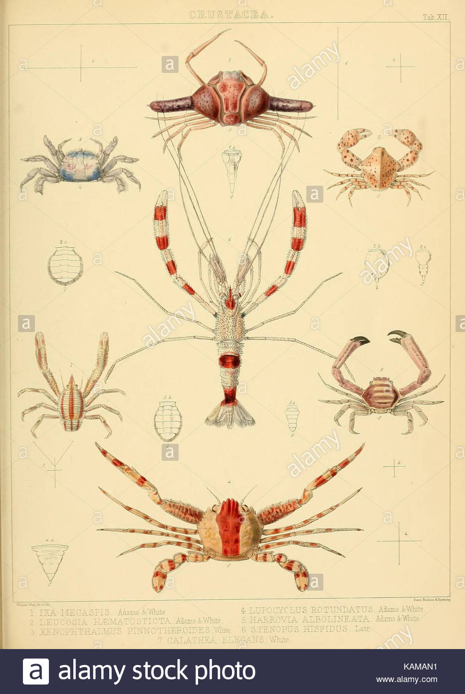 the zoology of the voyage of hms samarang under the mand of captain KAMAN1