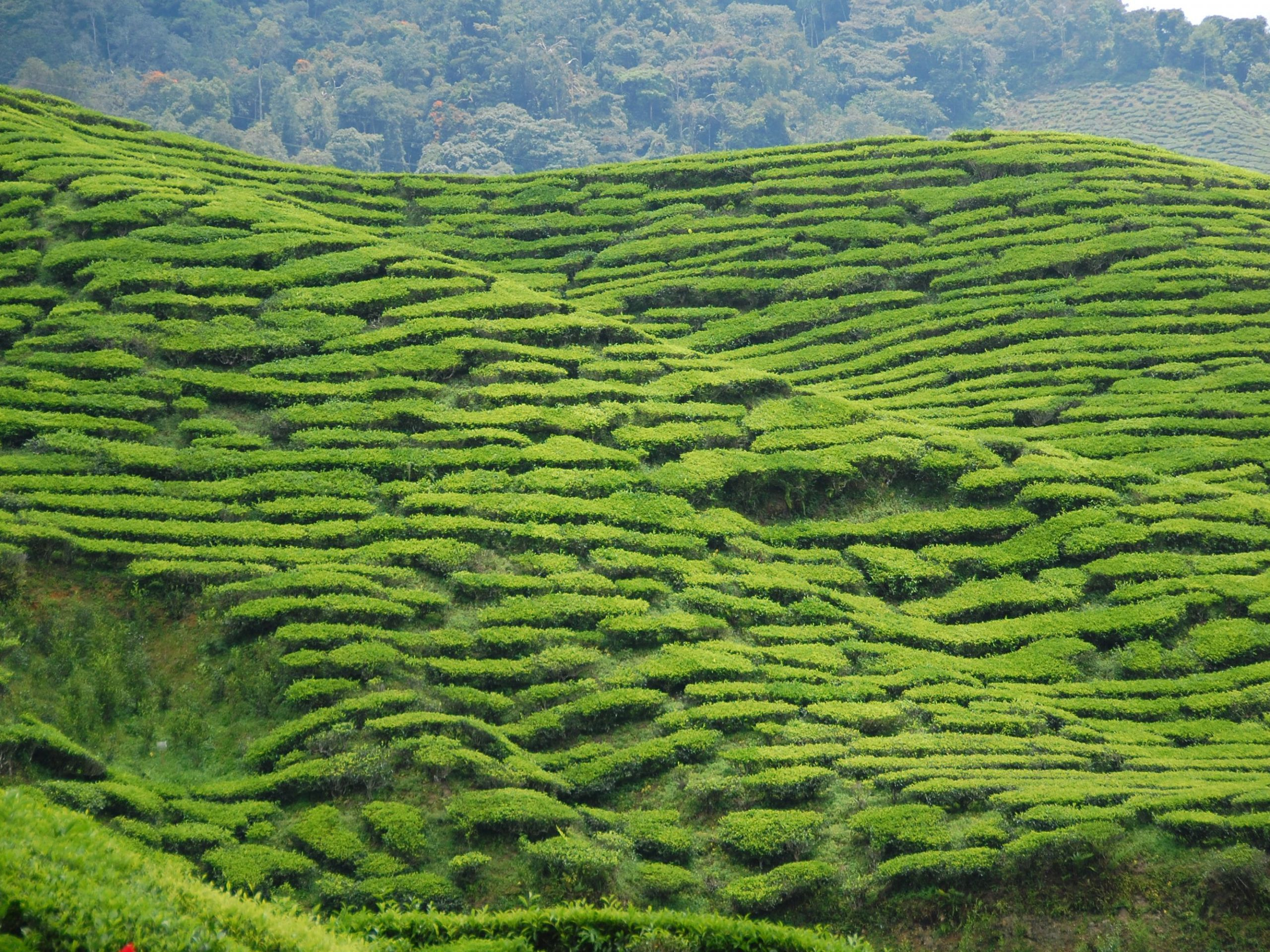 tea in asia cameron highlands 56a3791b3df78cf7727d8562