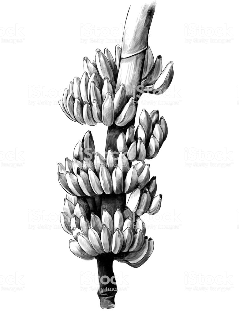 large bunch of bananas on a thick branch vector id