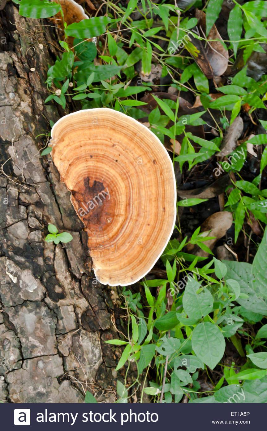 fungus on a wooden log botanical garden howrah india asia ET1A6P