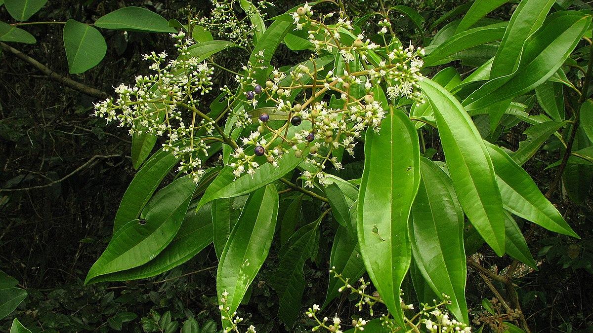 1200px Miconia prasina Sw DC Flickr Alex Popovkin Bahia Brazil 8