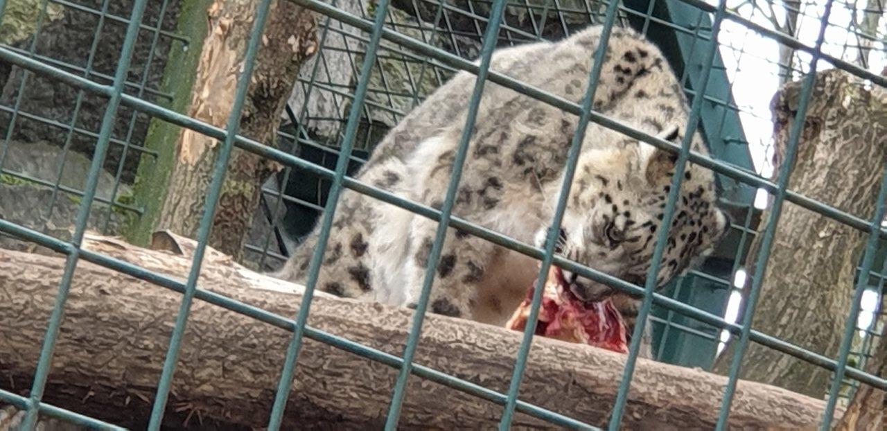 tierpark berlin schneeleopard