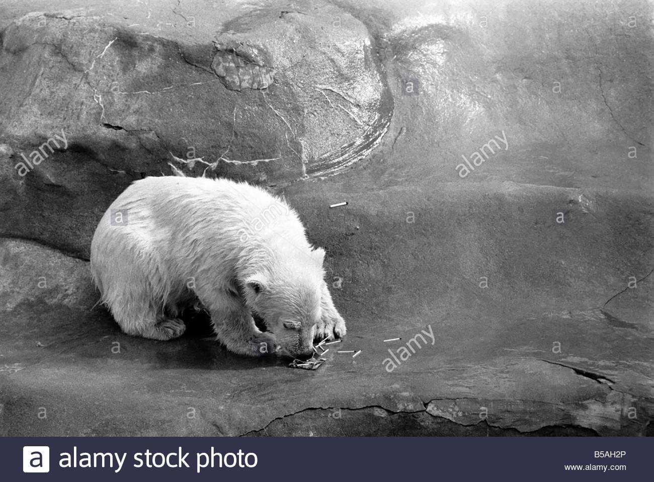 polar bears at bristol zoo april 1975 75 2224 001 B5AH2P