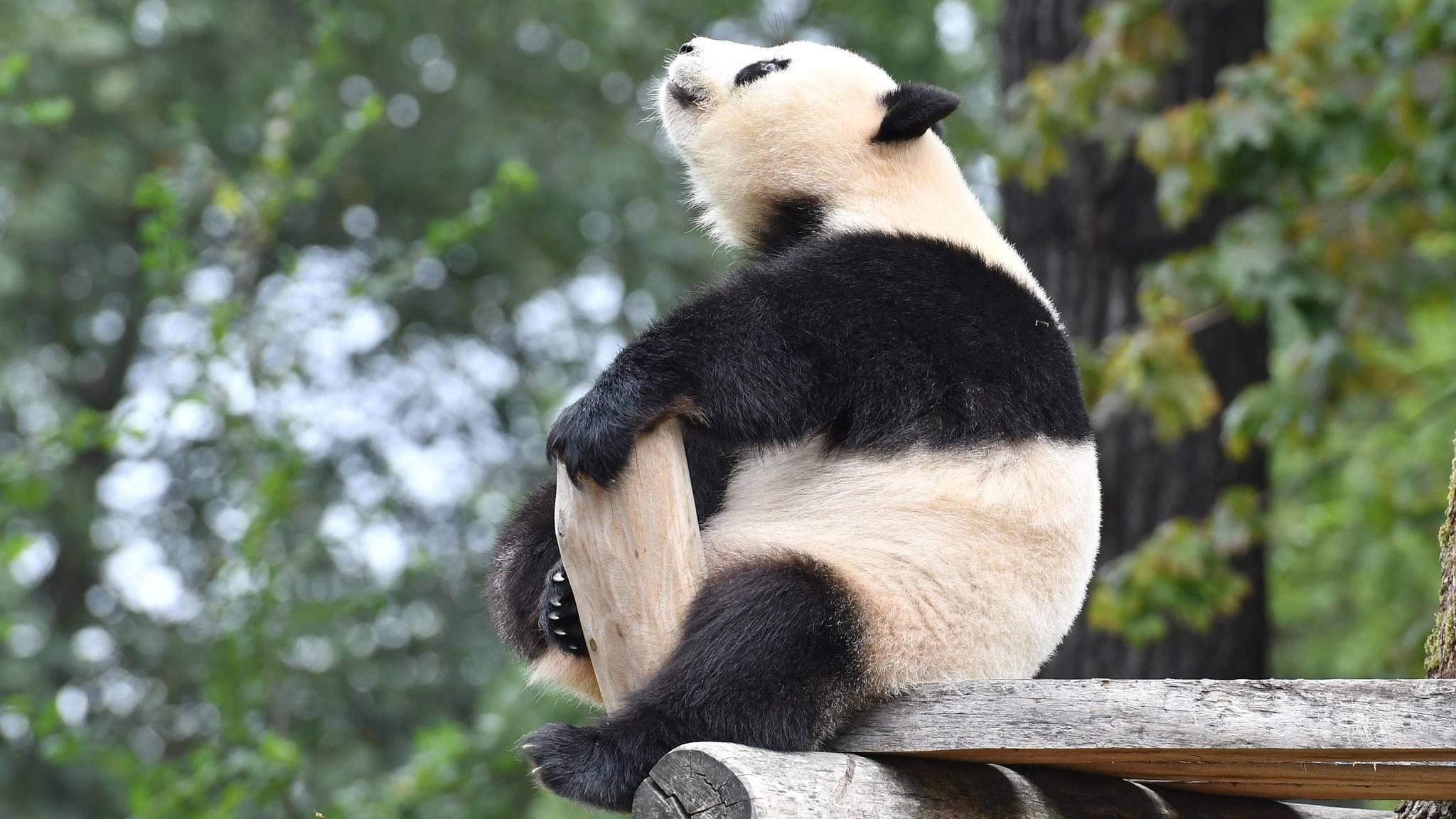 panda meng berliner zoo
