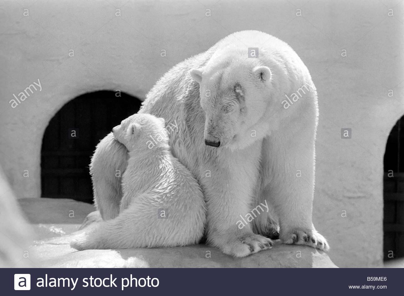 polar bears at bristol zoo april 1975 75 2224 005 B59ME6