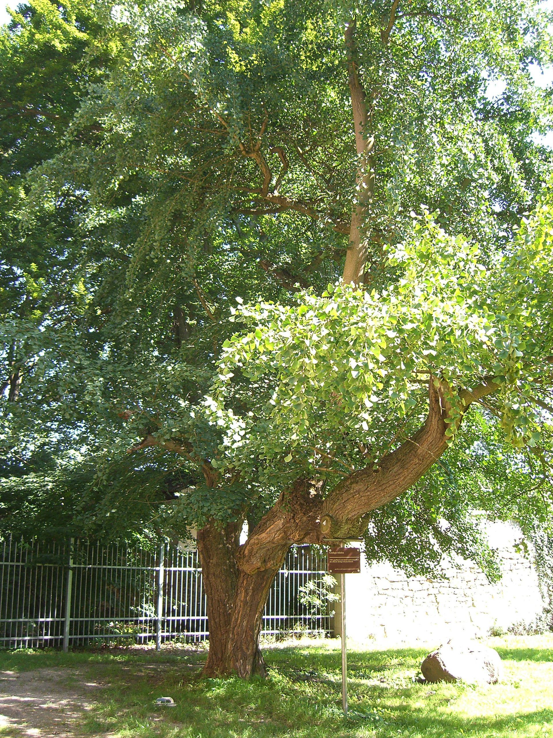 Ginkgo Baum Harbke