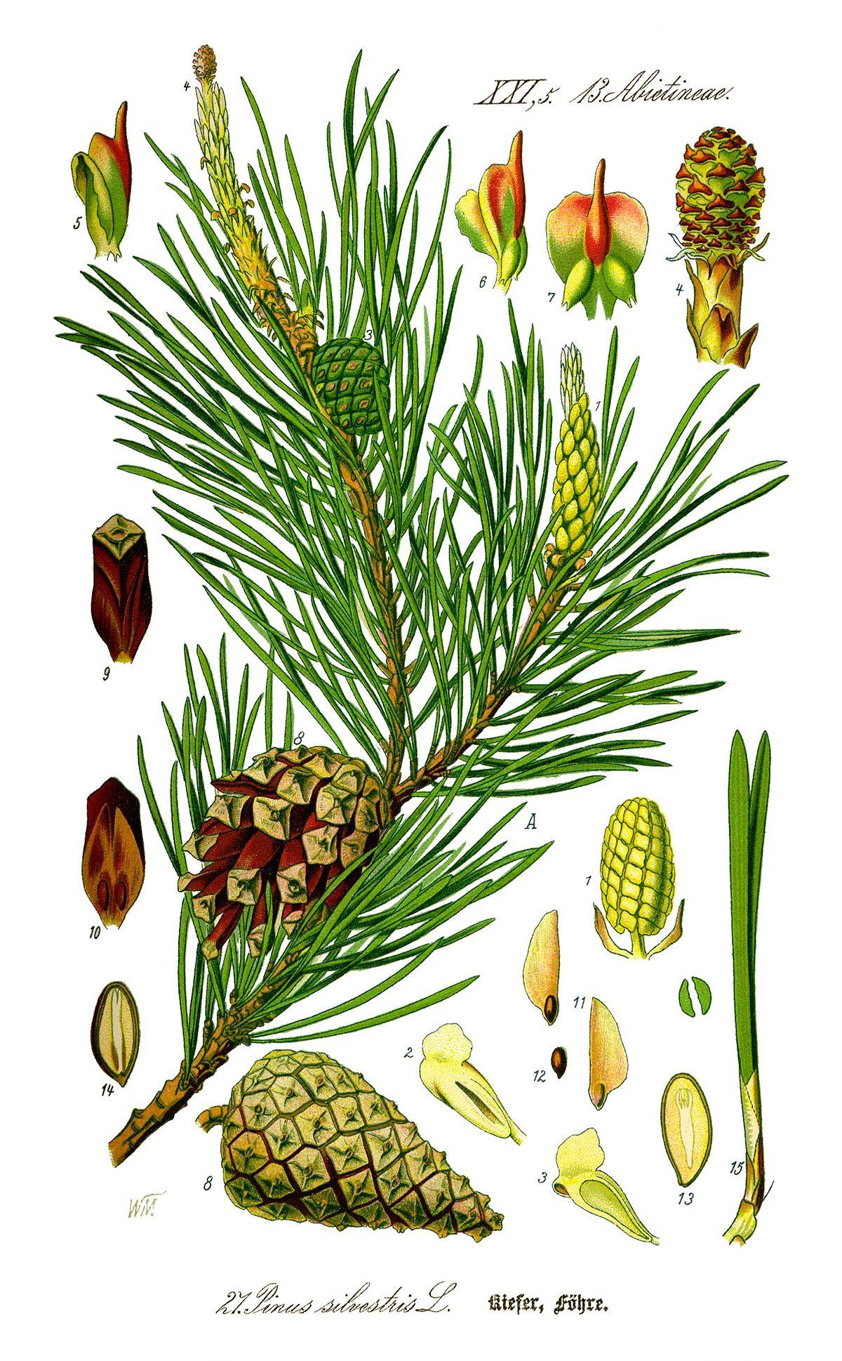 1200px Illustration Pinus sylvestris0 new