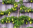 Bayer Garten Neu the Art Of Espalier Growing Fruit Trees In Small Spaces