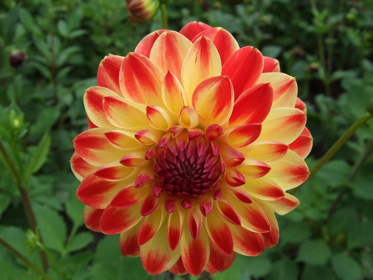 Berlin Britzer Garten Best Of File Unidentified Dahlia 2007 Wikimedia Mons