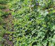 Bienenstock Im Garten Genial File Horngurke Kiwano Cucumis Metuliferus Im Garten