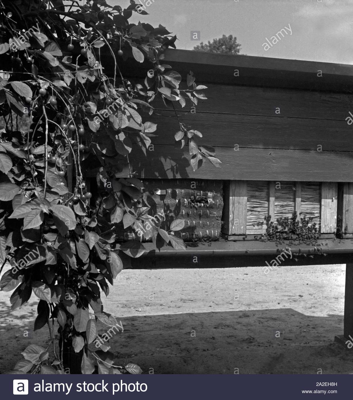 bienenstocke mit bienenvolkern im garten des landesinstituts fur bienenforschung in celle deutschland 1930er jahre alveari con le colonie di api nel giardino del miele centro di ricerche apicole di celle germania 1930s 2a2eh8h