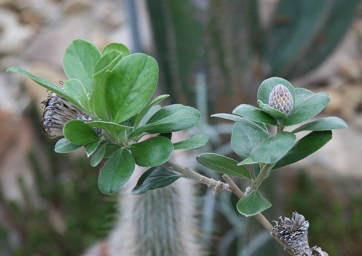 Botanischer Garten Dresden Neu File Arnaldoa Macbrideana3 Wikimedia Mons