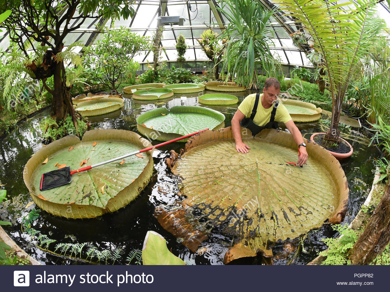 24 august 2018 germany hallesaale in the victoriahaus of the botanical garden of the martin luther university hallewittenberg district gardener matthias pabst stands in the water basin to clean out the withered leaves of the giant water lily victoria which can reach a size of up to 150 metres once a week during the summer months the yellowed leaves are divided into four pieces of cake because of their weight and brought to post the white flowers of the queen of the water lilies named after queen victoria 1819 1901 of england only open in the evening and at night photo PGPP82