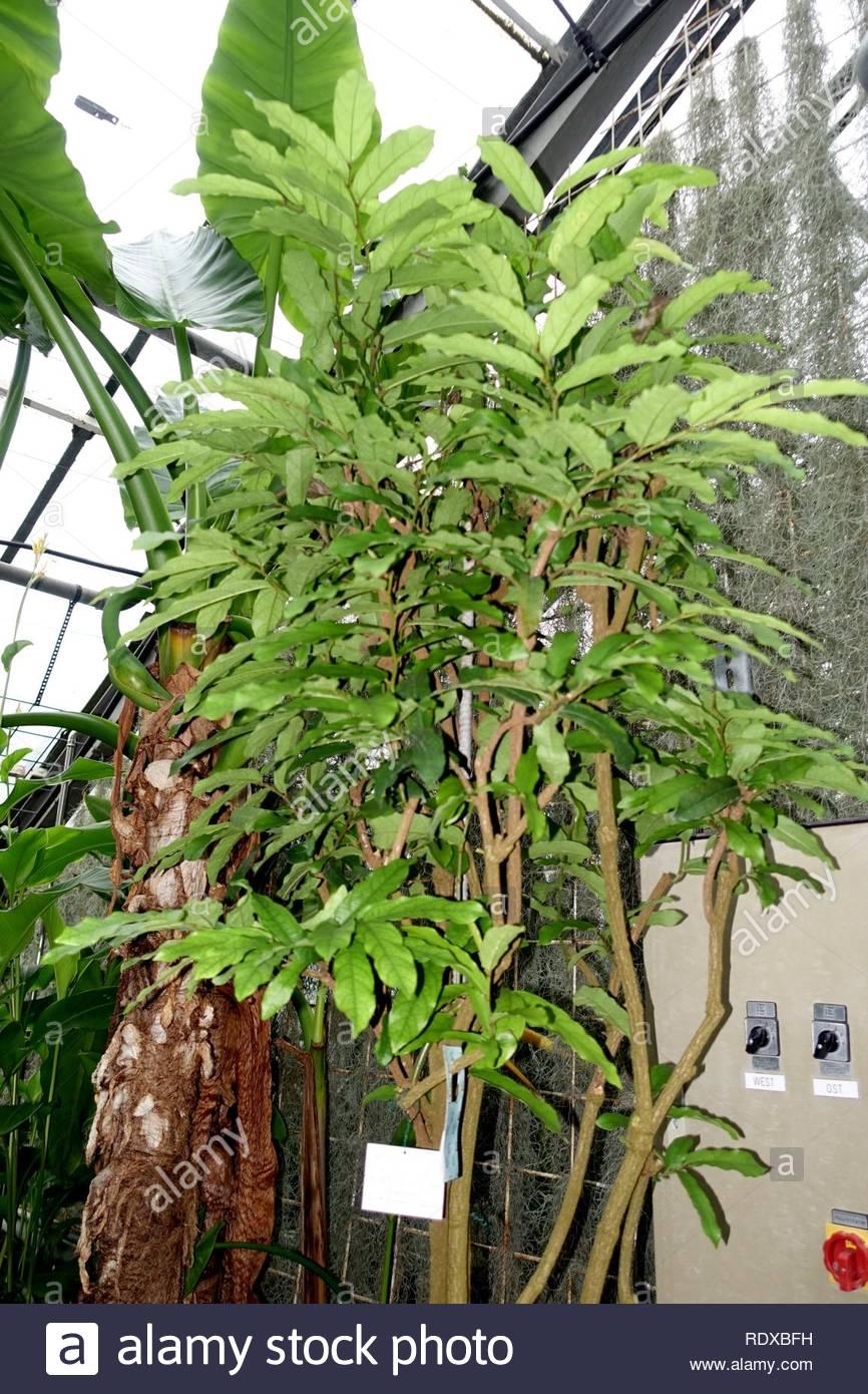 aristolochia arborea aristolochia salvadorensis botanischer garten heidelberg germany RDXBFH