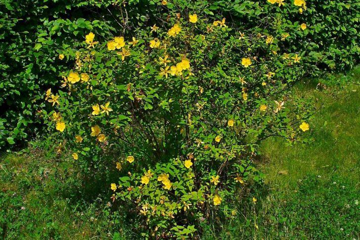 Botanischer Garten Karlsruhe Best Of File Hypericum Hookerianum 001 Jpg Wikimedia Mons