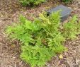 China Garten Elegant Brake Fern Media Encyclopedia Of Life