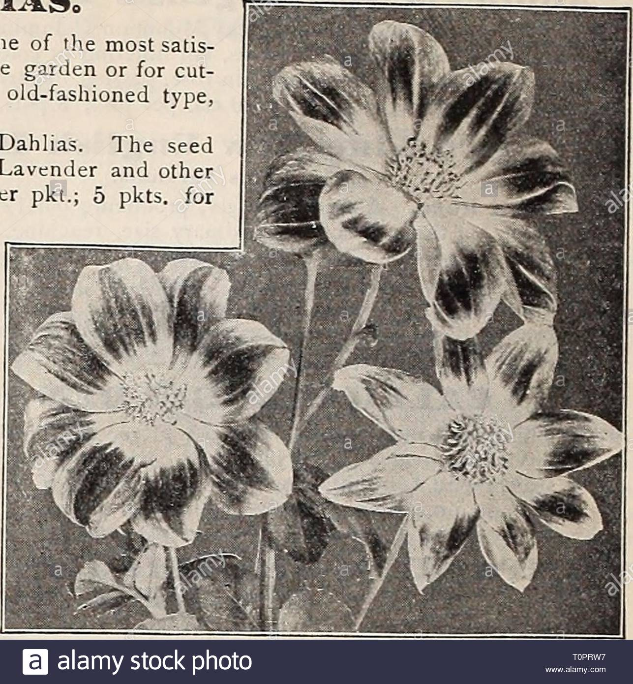 dreers garden book 1906 dreers garden book 1906 dreersgardenbook1906henr year 1906 12 1lrradre r 4hl adelphiamwfiowfbffn knyfitif ittn grand new singie dahiias0 single dahlias are one of the easiest things to grow from seed and one of the most satis faclory late summer and autumn flowers either for the decoration of the garden or for cut ting the three new varieties offered below are far in advance of the old fashioned type and should find a place in every garden 2187 new century this is the latest development in single dahlias the seed has lieen sived from the magnifi T0PRW7