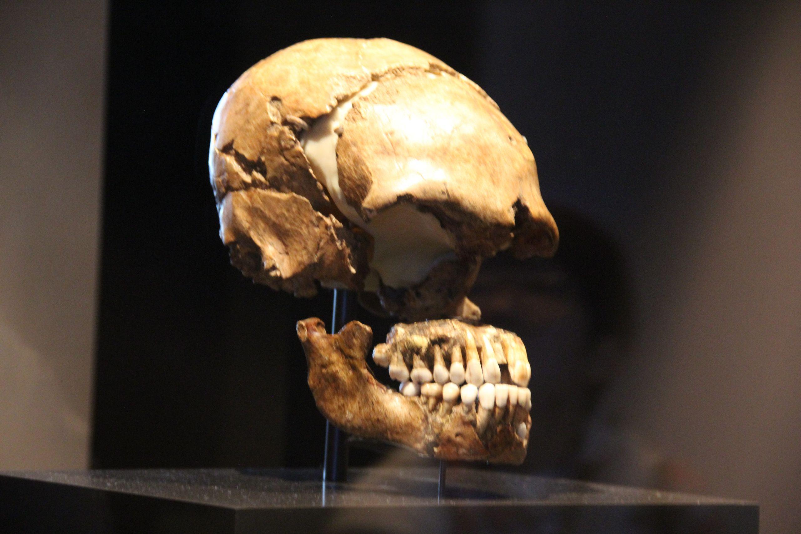 Englischer Garten Berlin Einzigartig File Le Moustier Neanderthal Skull Neues Museum Berlin