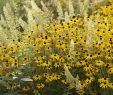 Garten Moorriem Genial Rudbeckia In De Winter Worden Het Zwarte Stengels Herfst