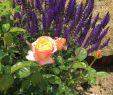 Garten Salbei Schneiden Einzigartig Blüten Salbei Mainacht Schönste Stauden & Expertenwissen