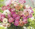 Garten Salbei Schneiden Einzigartig Ranunkeln Pastell Mix 10 Stück Ranunculus Pastell Mix