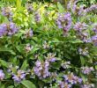 Garten Salbei Schneiden Einzigartig Salbei Anzucht Pflege Und Verwendung Beetfreunde