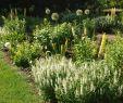 Garten Salbei Schneiden Elegant Salvia Nemorosa Schneehügel