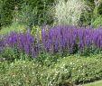 Garten Salbei Schneiden Genial Blüten Salbei Jan Spruyt Expertenwissen Zu Ser Staude