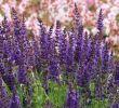 Garten Salbei Schneiden Inspirierend Blüten Salbei Marcus Schönste Stauden & Expertenwissen