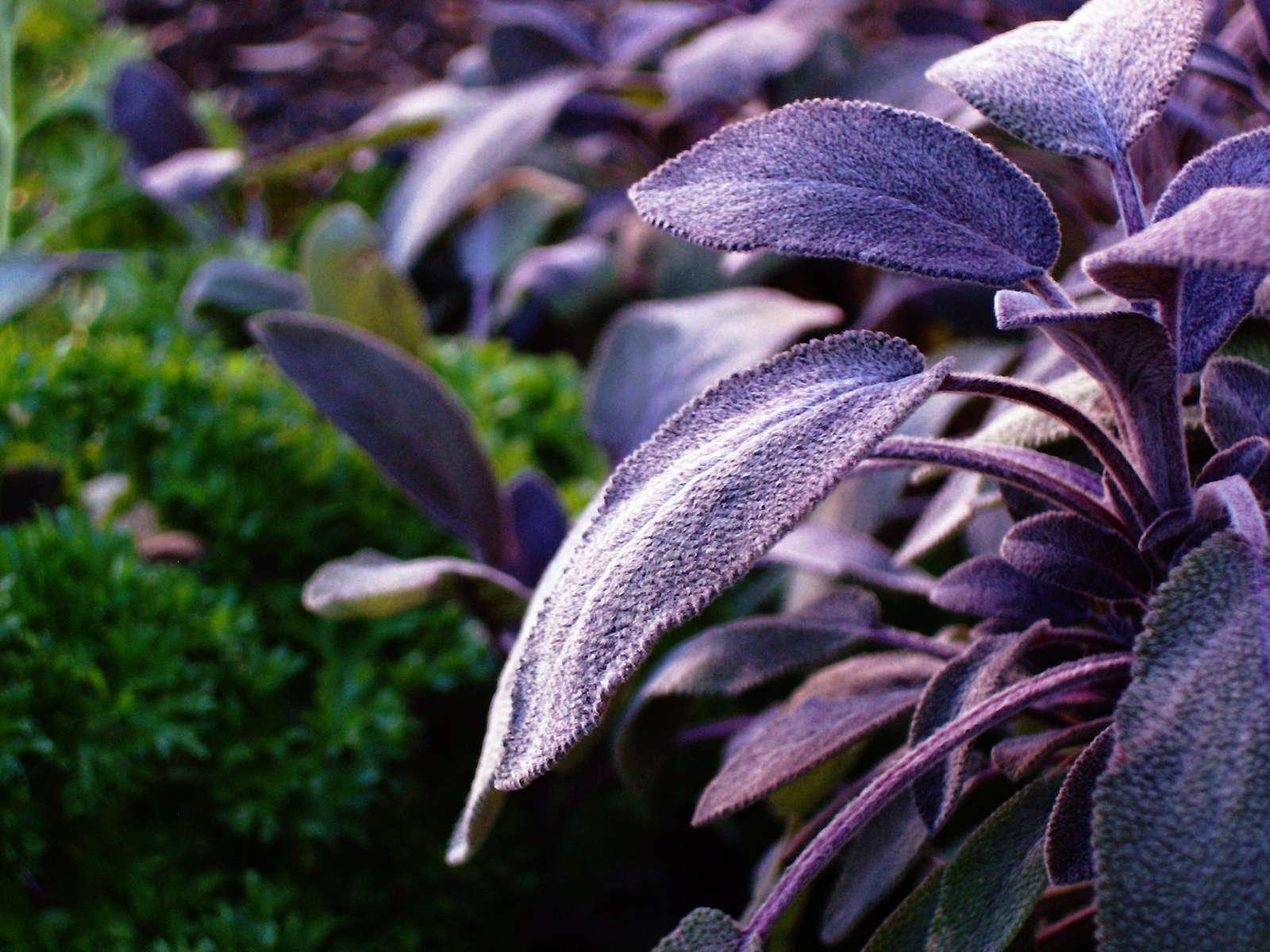 dunkel violetter lila Salbei