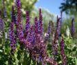 Garten Salbei Schneiden Luxus Blüten Salbei Ostfriesland Schönste Stauden & Expertenwissen