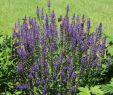 Garten Salbei Schneiden Neu Blüten Salbei Blauhügel Schönste Stauden & Expertenwissen