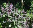 Garten Salbei Schneiden Neu Salbei Purpurascens Salvia Officinalis Purpurascens
