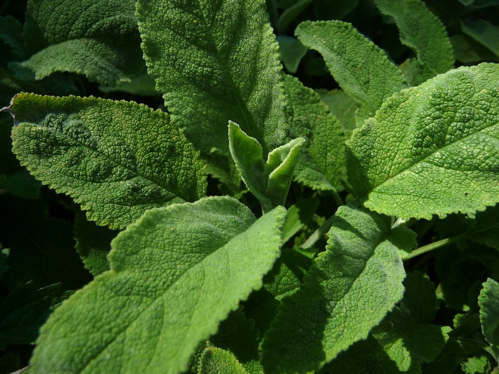 Bisher hier noch nicht geblueht aber sehr huesches Laub Salvia officinalis Crispa