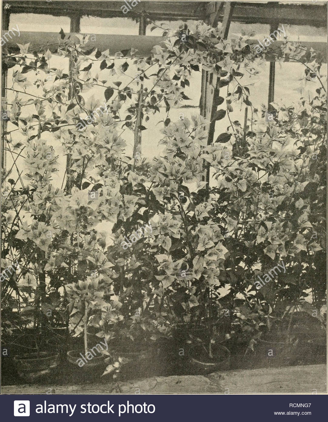 gartenwelt gardening v 14 gartenwolt irl teilansirht eines gewchshauses mit einjhrigen bougainvillea glabra sanderiana in der groh hofgrtnerei rosenhohe bei iarni4idt originalaufnahme fr gartenwelt please note that these images are extracted from scanned page images that may have been digitally enhanced for readability coloration and appearance of these illustrations may not perfectly resemble the original work berlin g schmidt RCMNG7