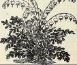 Gartenflora Abo Frisch Convallaria Rosea Stock S & Convallaria Rosea Stock