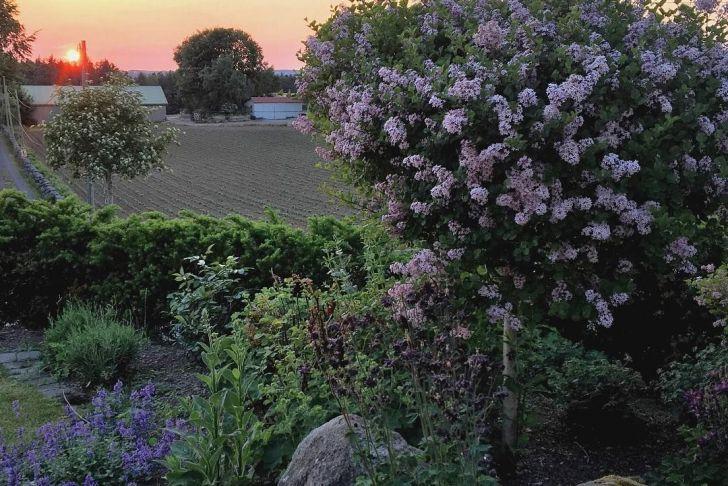Gartenflora Abo Luxus Dvergsyrin Palibin Et Nydelig Lite Tre Med Lyslilla