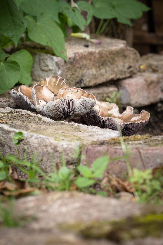 essbare Pilze züchten 23