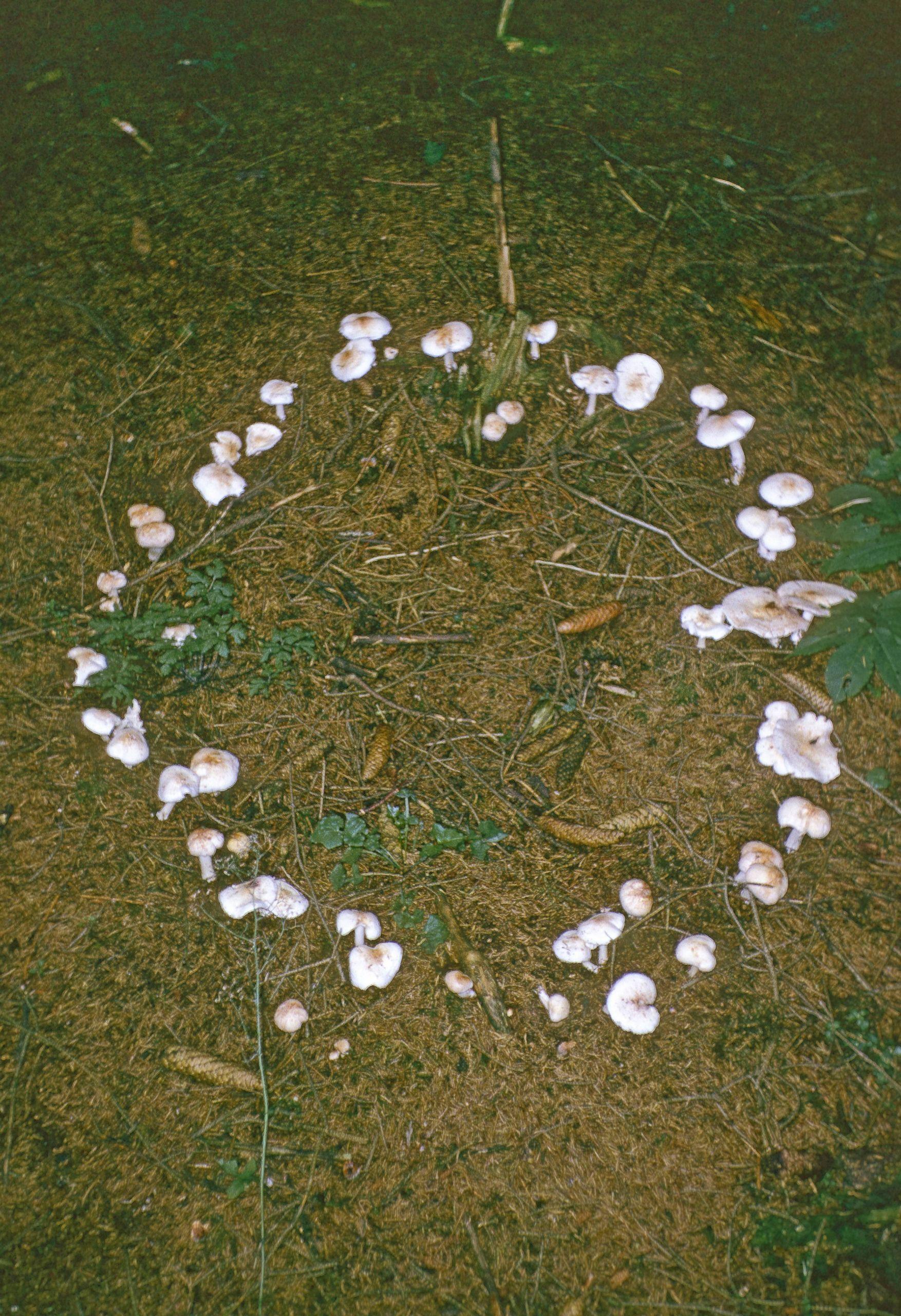 pilze im rasen beim hexenring wachsen schaedlinge in einer bestimmten form auf dem boden