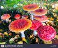 Giftige Pilze Im Garten Frisch Zauberhafte Kleine Rote Pilz Garten Im Herbst Stockfoto