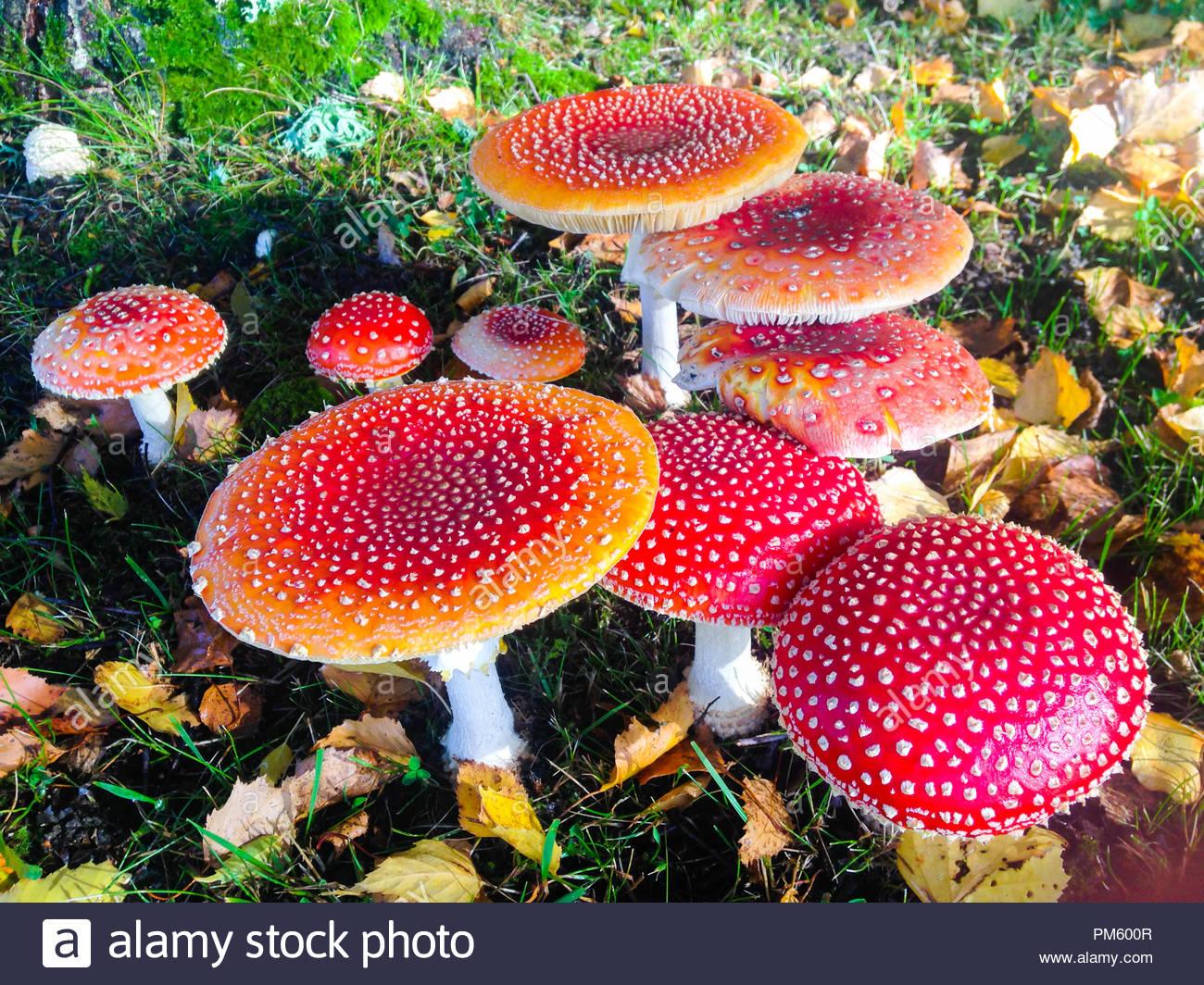 zauberhafte kleine rote pilz garten im herbst pm600r