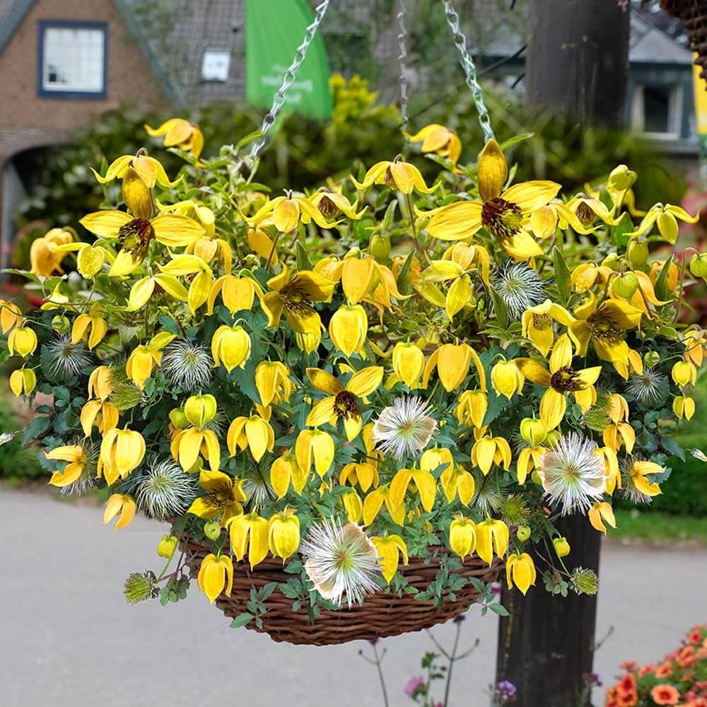 Giftige Pilze Im Garten Luxus Clematis Little Lemons ...