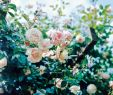 Herrenhauser Garten Einzigartig Klatrerose New Dawn Plantasjen