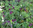 Herrenhauser Garten Neu Salvia X Jamensis Nachtvlinder