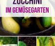 Ingwer Im Garten Best Of Der Komplette Zucchini Guide – Zucchini Pflanzen Anbauen