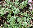 Ingwer Im Garten Best Of Kümmelthymian Thymus Herba Barona
