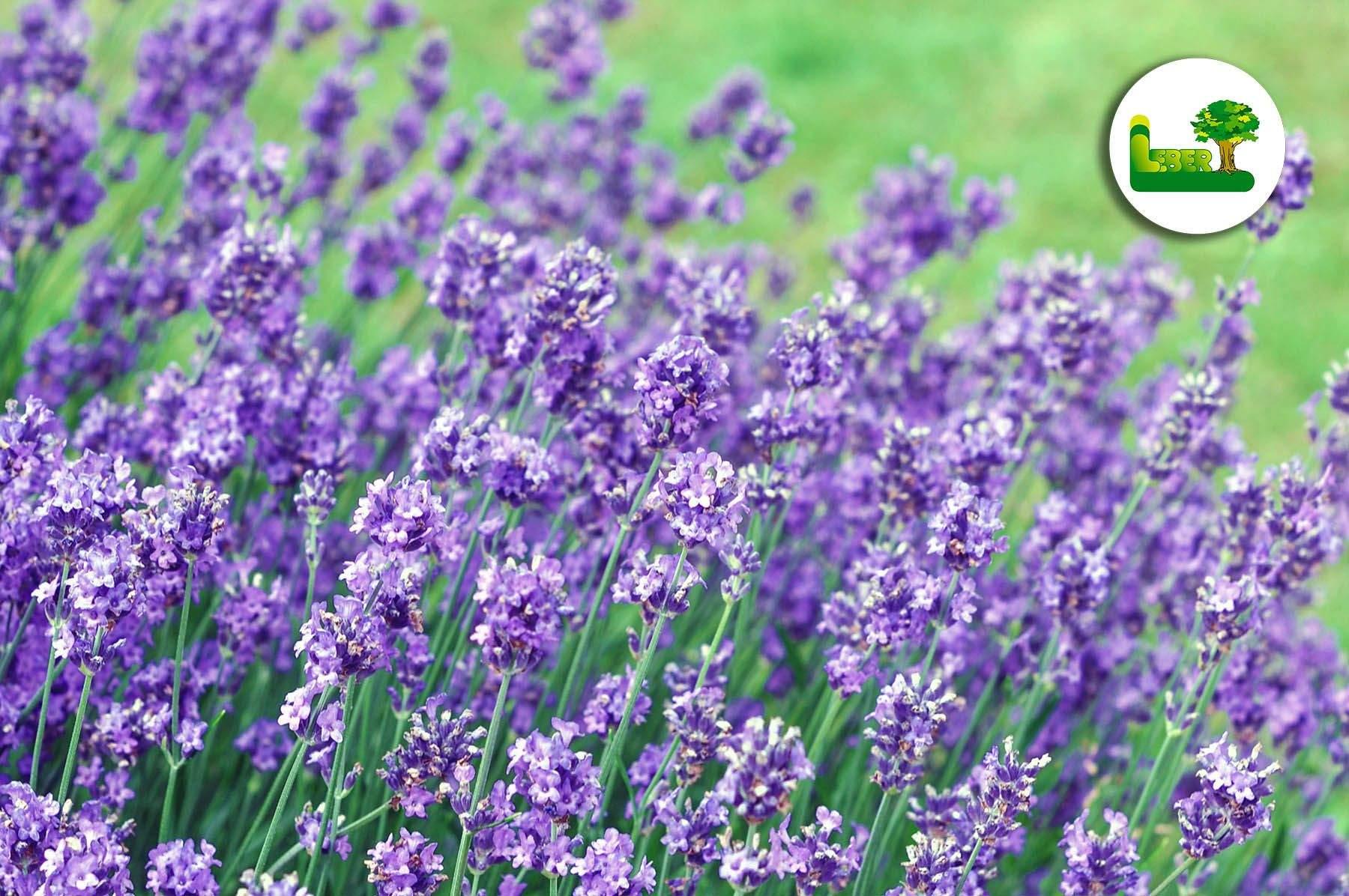 ingwer im garten luxus lavendel im garten pflanzen of ingwer im garten